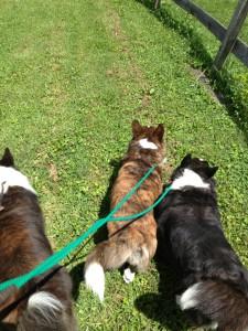 Corgies-enjoy-group-walk