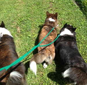 corgis go for a walk