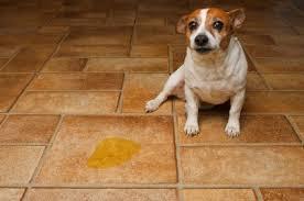 pee on the floor