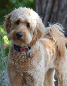 goldendoodle adult